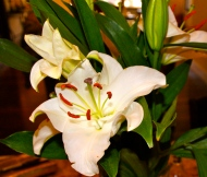 Lilies from my Love